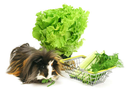 Funny shaggy sheba guinea pig eats from a shopping basket filled with purchased greens on a white background.