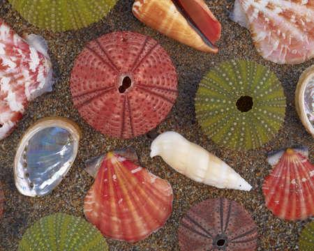 pilluelo: Los erizos de mar y conchas en la arena h�meda, fondo natural