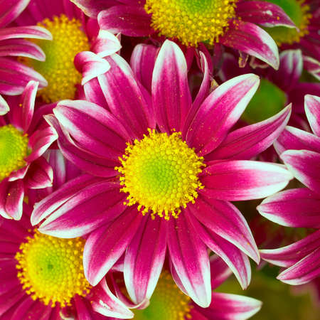 violet-white crysanthemum closeup, natural background