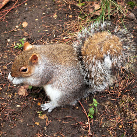 hyde: grey squirrel, Hyde park, London