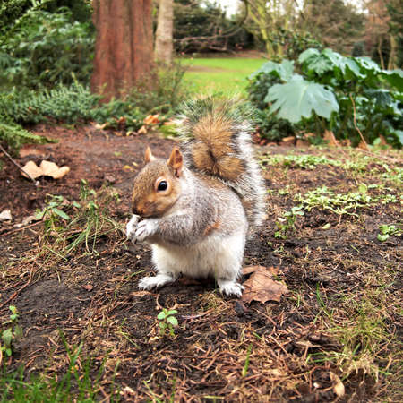 grey squirrel, Hyde park, London photo