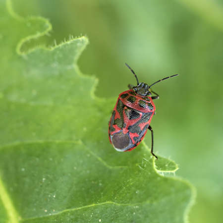 shield bug: Ornate shield bug closeup