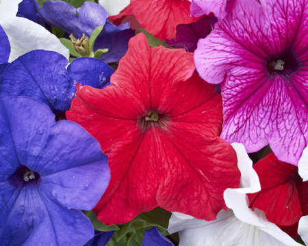 petunia  flowers closeup, natural background photo