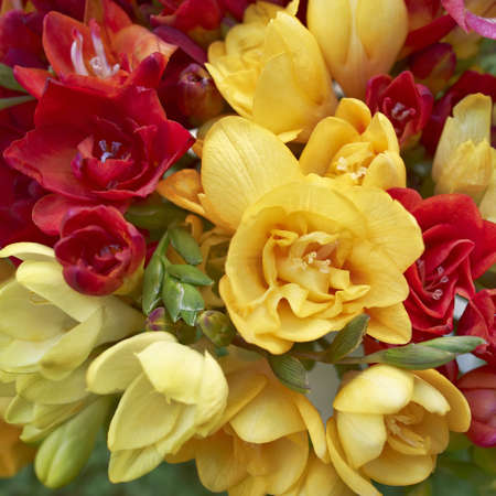 Freesia flowers closeup, natural background photo