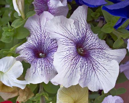 petunias: two petunias  closeup, natural background Stock Photo
