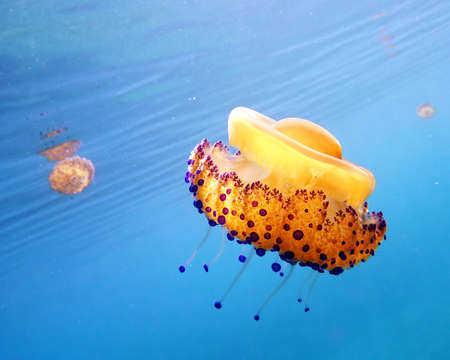 some medusas   jellyfish  in the sea photo