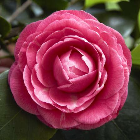 単一椿の花の背景 写真素材