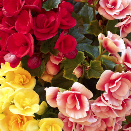 pink, red and yellow begonias closeup, flower background photo