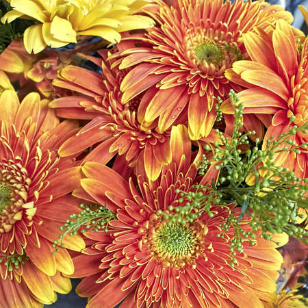 colorful gerber daisies bunch photo