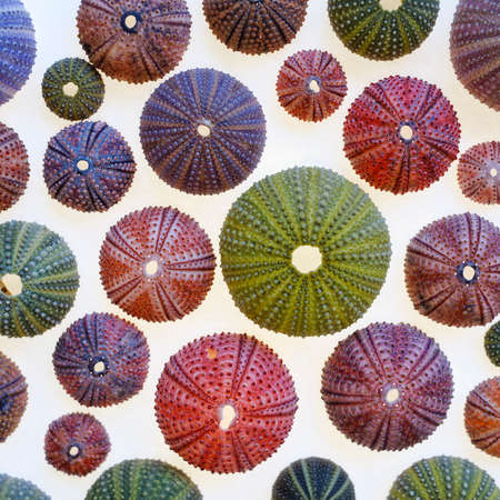 Variety of colorful sea urchins