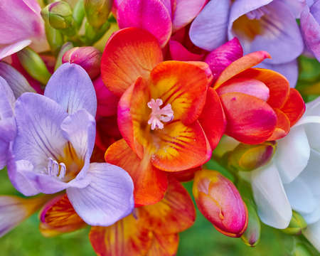 colorful freesias closeup, floral background photo