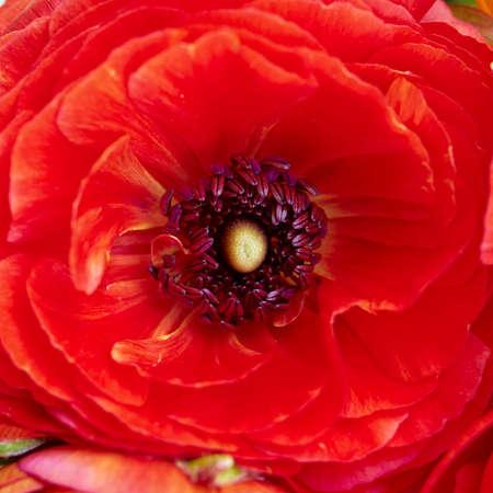 buttercup: red buttercup flower closeup
