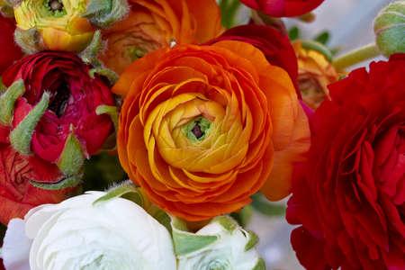 buttercup: buttercup flowers closeup