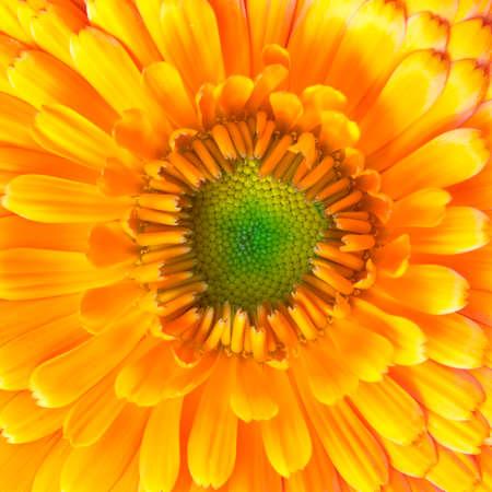 calendula flower closeup photo
