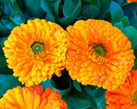 two calendula flowers photo