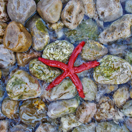 pebles: red sea star on colorful pebles beach closeup