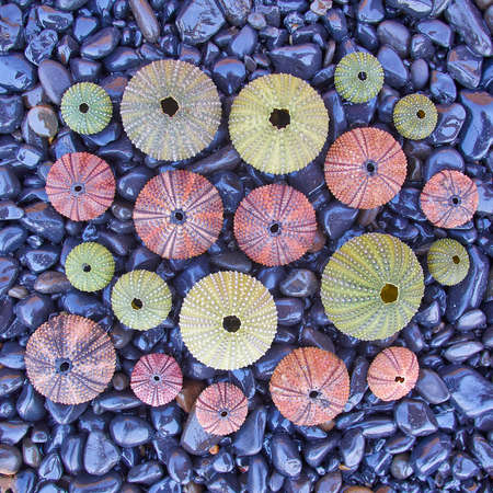 pebles: variety of colorful sea urchins on black pebles beach, natural background Stock Photo