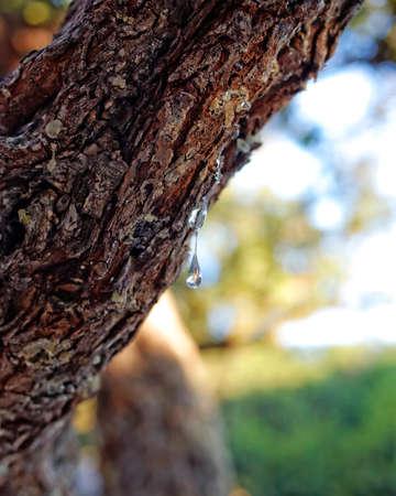 natural mastic drop close up