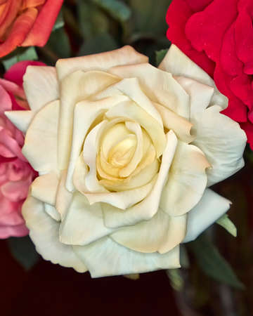 fake handmade pale white rose flower, colorful background photo