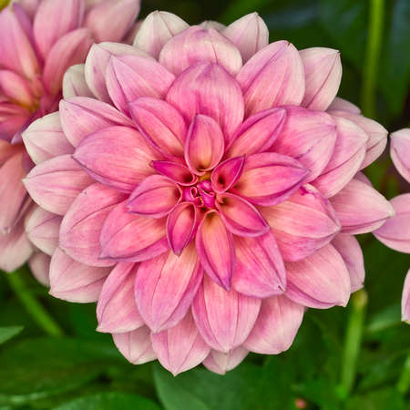 asterids: Pink Dahlia flower, colorful background