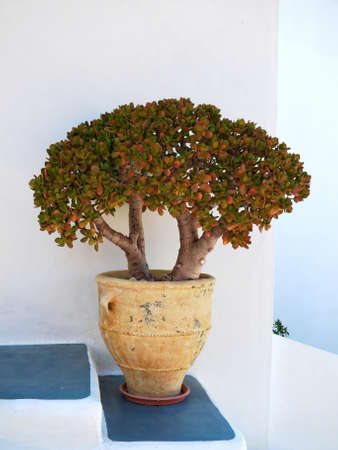 crassula ovata: Milos island, Greece, jade plant closeup Stock Photo