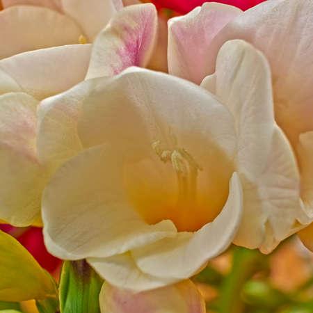 freesia: pale white freesia flower closeup, strong bokeh