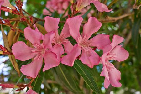 oleander natural bouquet closeup photo