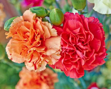 赤とオレンジのカーネーションの花クローズ アップ、自然な背景 写真素材