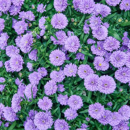 Chrysanthemum flowers closeup, natural background Stock Photo