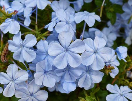 Light blue jasmine flowers bouquet closeup, natural