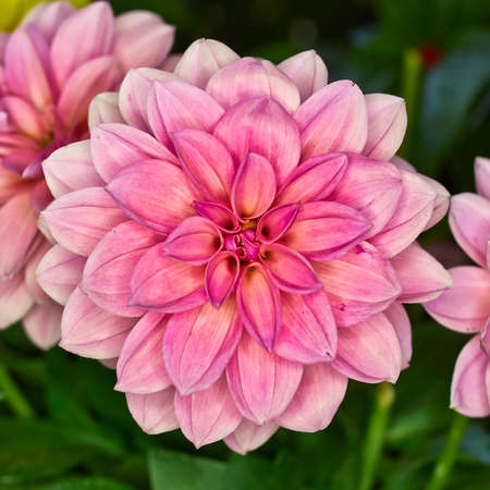 asterids: Pink Dahlia flower, colorful
