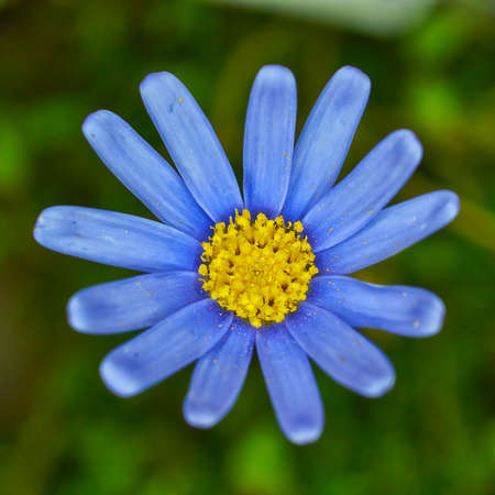 blue daisy: Blue daisy flower closeup
