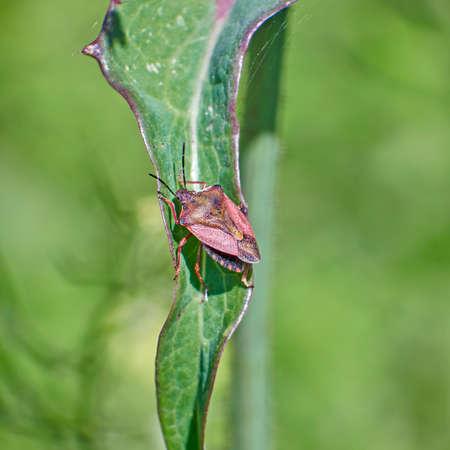 green shield bug: shield bug on green leaf close up