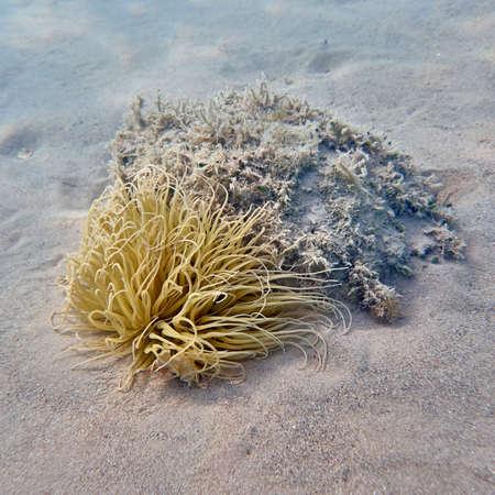 sea bed: sea anemone closeup on sandy sea bed