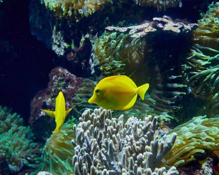 tang: tropical yellow tang fish in aquarium