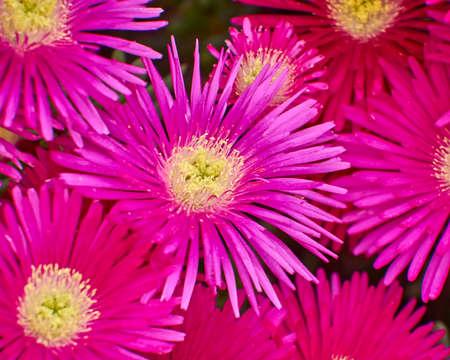 cactus dark pink flowers closeup, natural background Stock Photo