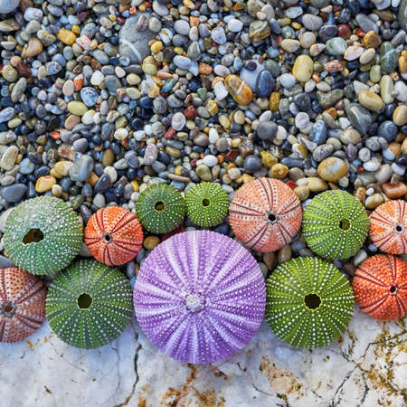 pebles: colorful sea urchins on white rock and pebles beach Stock Photo