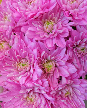 violet color chrysanthemums top view, natural seamless background Stock Photo