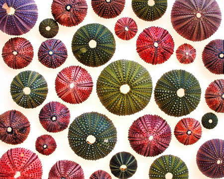 colorful sea urchins on white translucent background Stock Photo