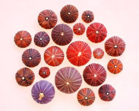 colorful sea urchins on white translucent background Stock Photo