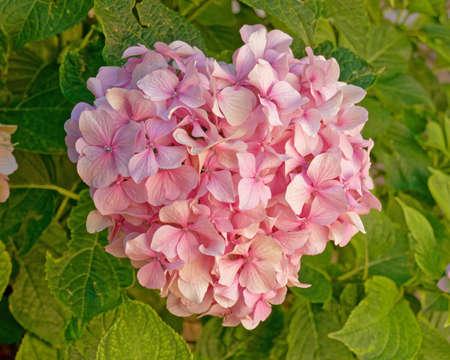 pink hortensia flower natural bouquet