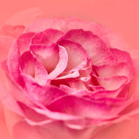 violet pink rose top view closeup, natural background Stock Photo