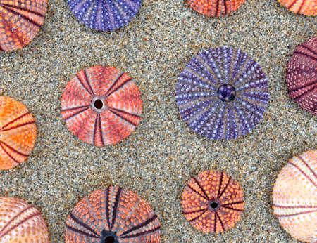 colorful orange, pink and violet sea urchins on wet sand, natural pattern