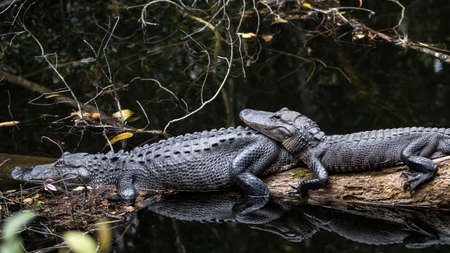 cypress: Alligators (Alligator Mississippiensis) Resting, Big Cypress, Florida Stock Photo