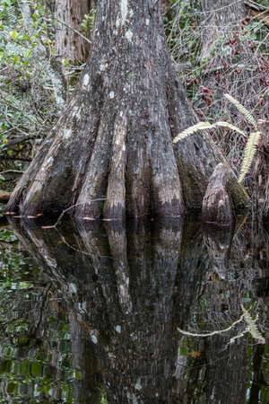 Cypress (Taxodium distichum) Roots, Swamp, Big Cypress National Preserve, Florida