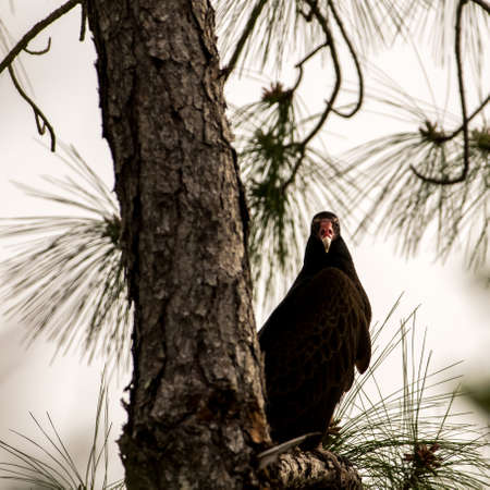 turkey vulture: Turkey Vulture (Cathartes aura) Waiting on a Tree, Big Cypress National Preserve, Florida Stock Photo