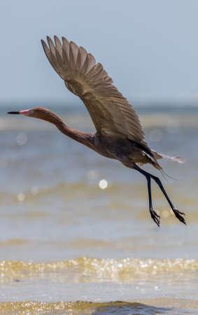 reddish: Reddish Egret (Egretta rufescens) Flying, San Carlos Bay, Bunche Beach Preserve, Florida Stock Photo