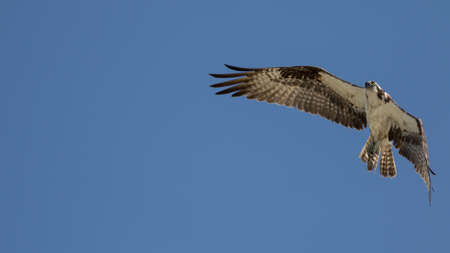 carlos: Osprey (Randion haliaetus) Flying, San Carlos Bay, Bunche Beach Preserve, Florida