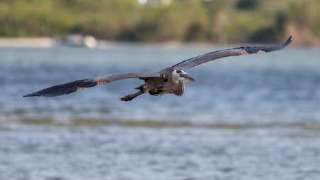 great bay: Great Blue Heron (Ardea herodias) Flying, San Carlos Bay, Bunche Beach Preserve, Florida