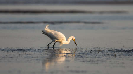 carlos: Snowy Egret (Egretta thula) Foraging, Breeding Plumage, San Carlos Bay, Bunche Beach Preserve, Florida